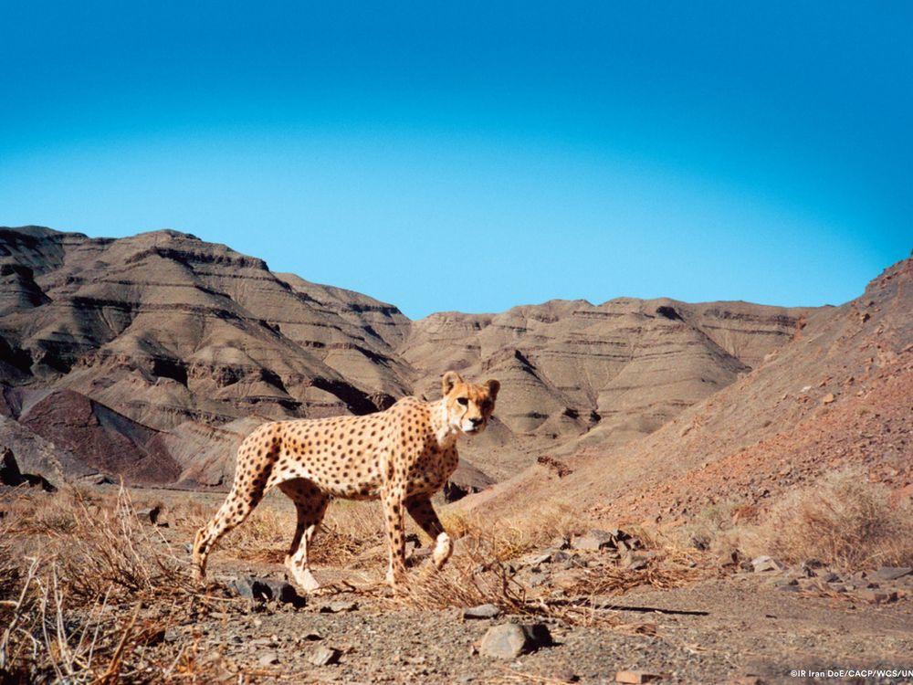 Panthera_Asiatic Cheetah in Naybandan Wildlife Refuge Iran.jpg