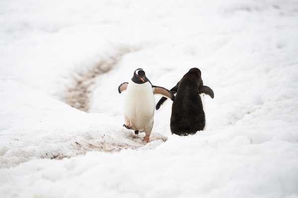 Counter traffic on the penguin highway in Antarctica thumbnail