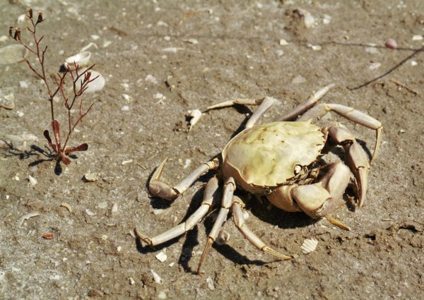 dead crab thumbnail
