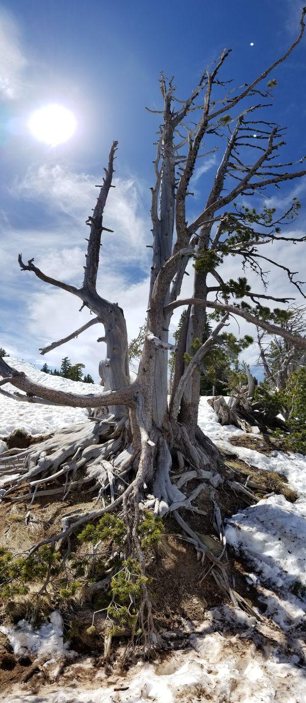 Lost Tree at Crater Lake National Park in Oregon thumbnail