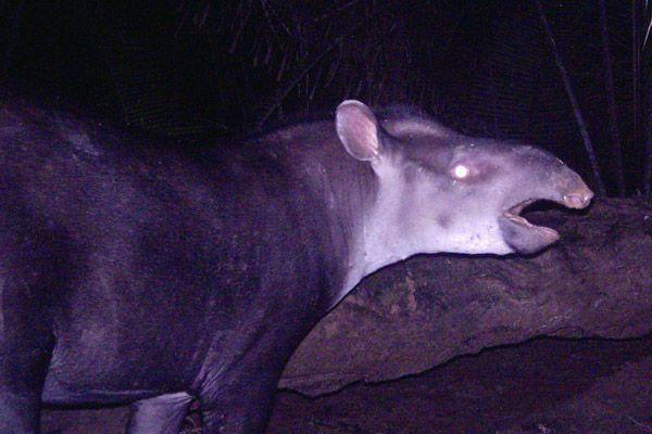 New tapir