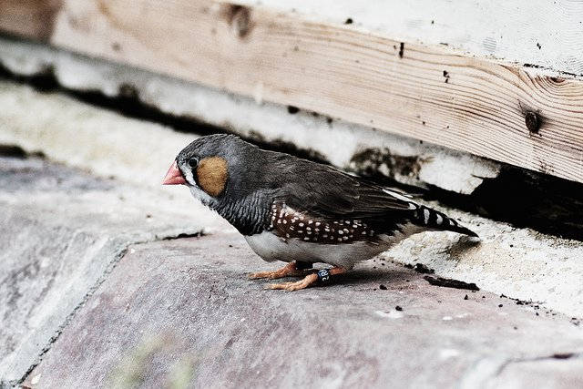 Zebra Finches are one of the birds that hold a trace of ancient hepatitis B in their genes.