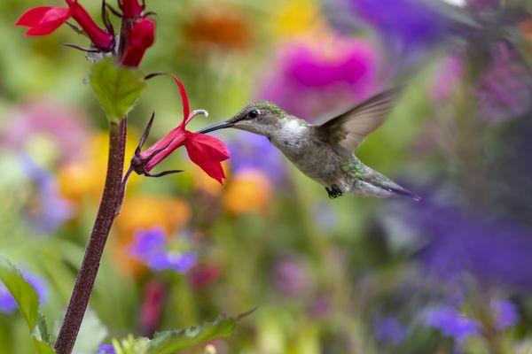 Female ruby throat hummingbird in the garden thumbnail