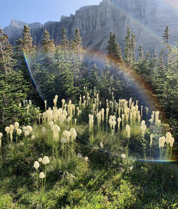 Beargrass at Logan Pass, Glacier National Park thumbnail