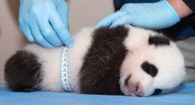 Panda-growth-388.jpg