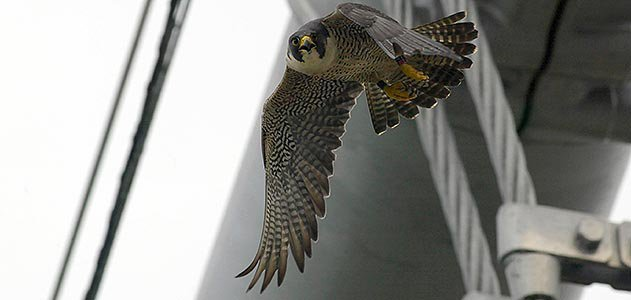 Peregrine Falcon New York City