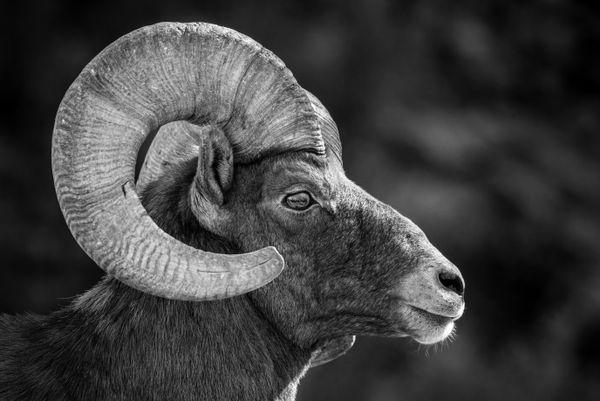 Bighorn Sheep thumbnail