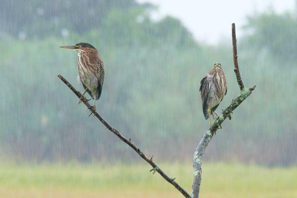Green Herons in the rain thumbnail