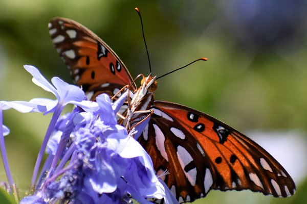 Butterfly in my yard  thumbnail