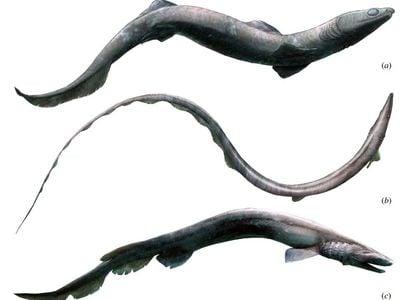 Artists reconstruction of Phoebodus sharks.
