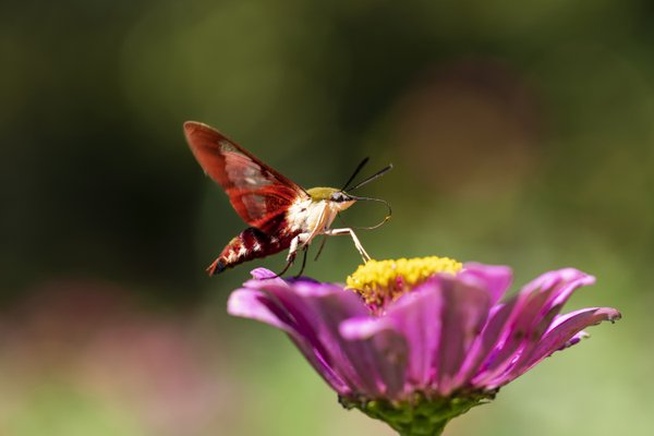 A hummingbird clearwing moth pollinating a zinnia flower. thumbnail