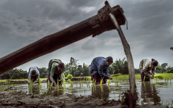 Paddy Cultivation thumbnail