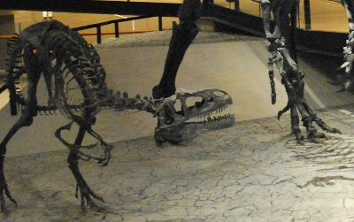 Many Allosaurus bones have been found with fractures and other pathologies, but were any of these injuries caused by falls?