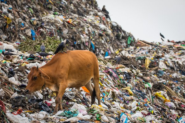 Dinner Is Served! Cow dines in Boragaon Landfill  thumbnail