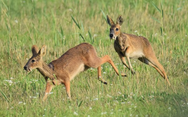 Water Deer Chase thumbnail