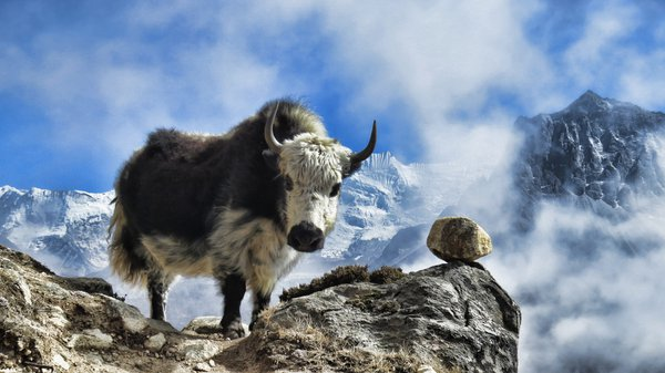 The yak and the rock thumbnail