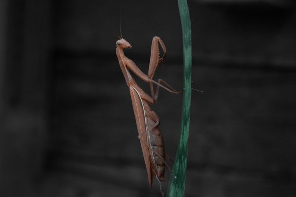 Praying Mantis thumbnail