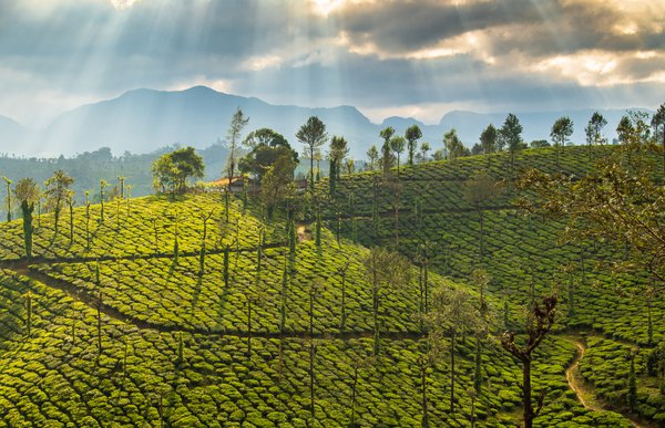GOLDEN TEA GARDENS thumbnail