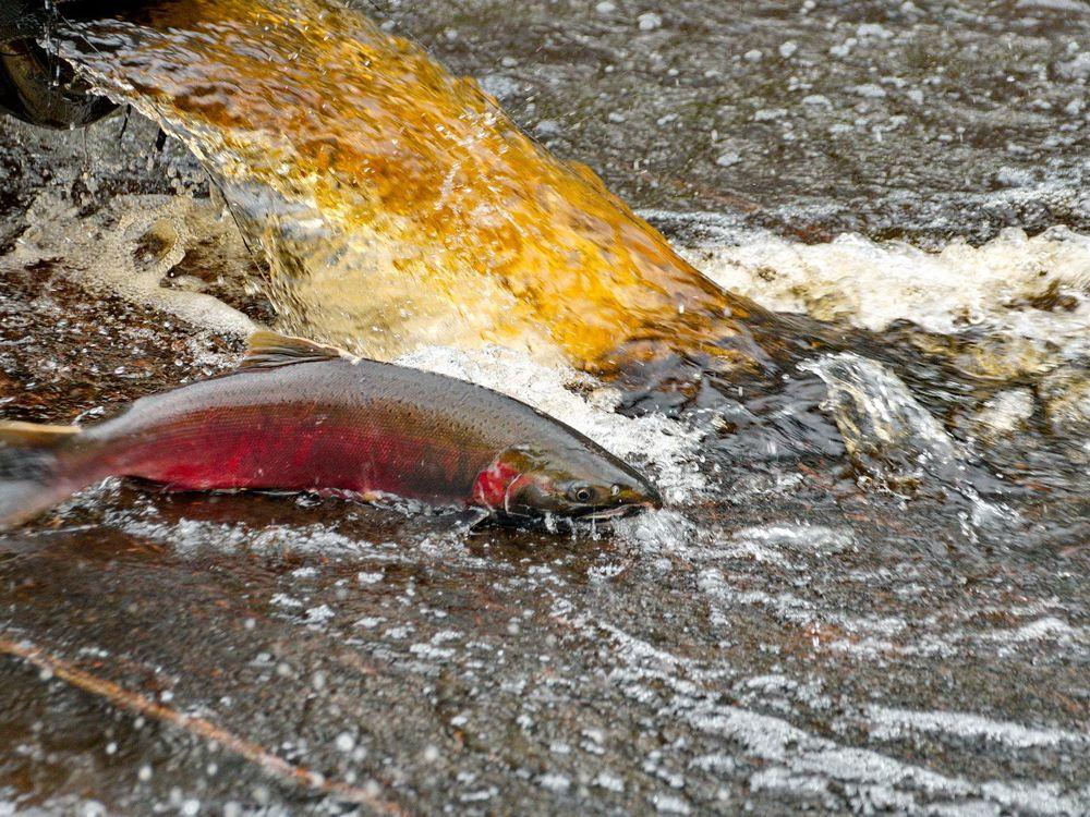 Coho salmon returning to spawn