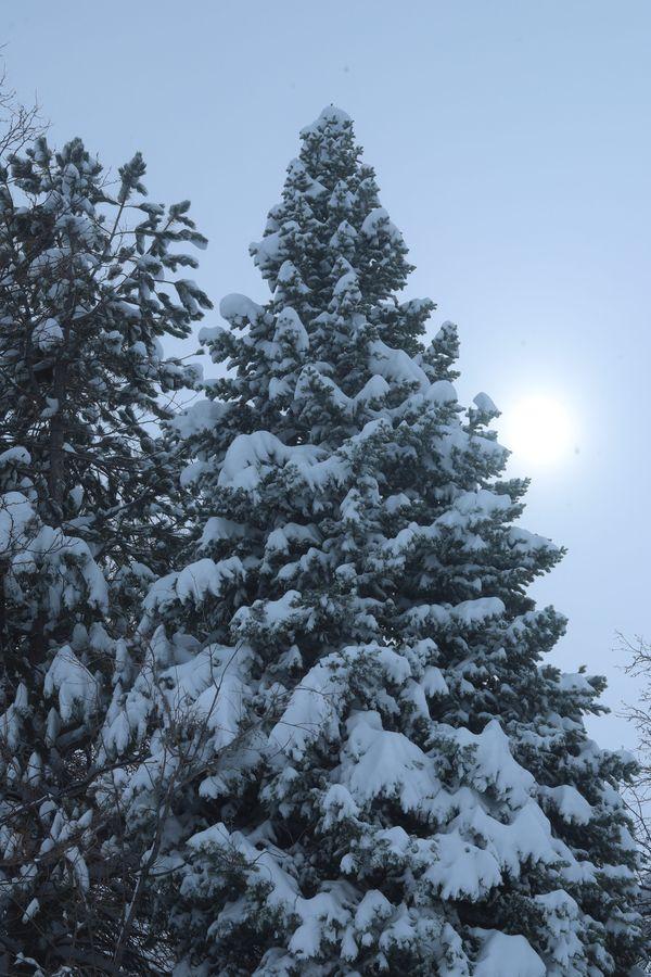 Evergreen tree snow sun thumbnail