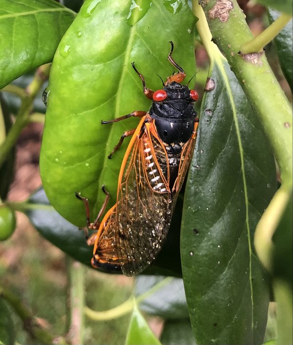 A cicada with the wings covered in dew thumbnail