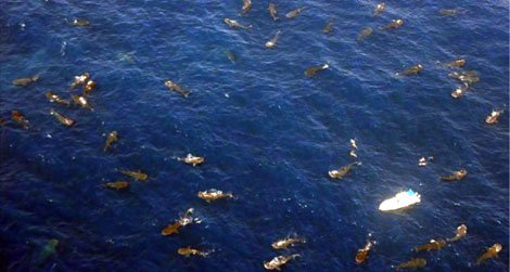 This aerial photograph shows 68 whale sharks feeding (and four snorkelers swimming) at the Afuera in August 2009.