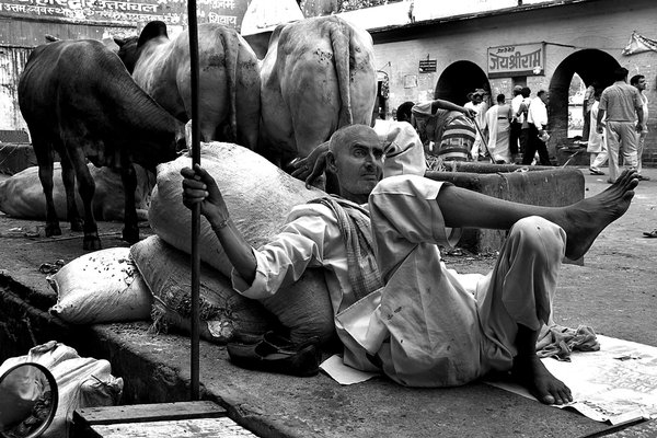 Guard Beside the road side, the man is resting with his cows after the long journey. thumbnail