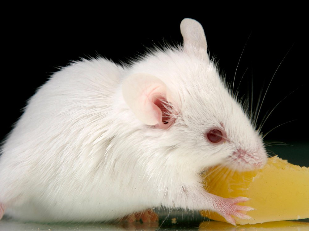 A white mouse nibbling on cheese