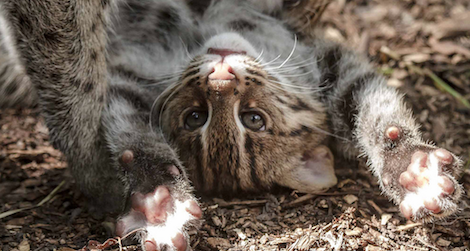 Visitors can now enjoy the antics of the Zoo's three-month old fishing cat kittens.