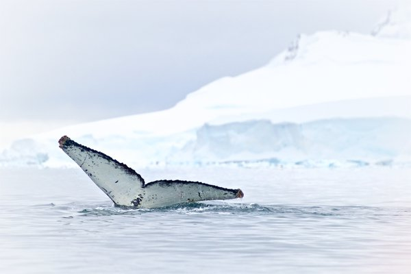 One Big Tail Among The Ice thumbnail