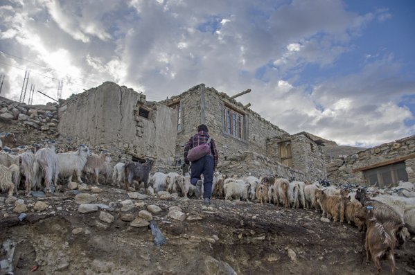 A herder with his fleet of sheep thumbnail