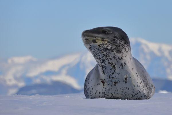 Leopard Seal on Ice Floe thumbnail