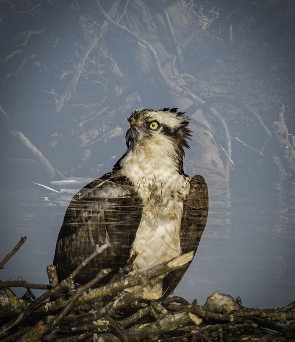 Double exposure of an osprey on Lake Norman, North Carolina thumbnail