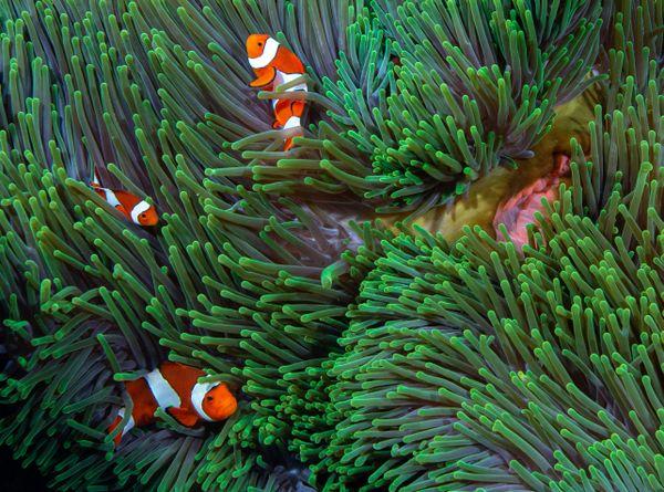 Three clowns and an anemone thumbnail