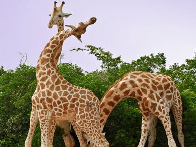 Some biologist suggest that the emergence of the long neck on a giraffe was driven more by sexual success: males with longer necks won more battles, mated more often and passed on the advantage to future generations.