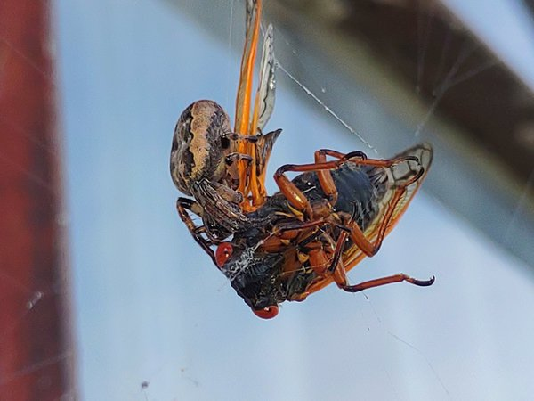 Hungry and soon to be full spider having big breakfast thumbnail