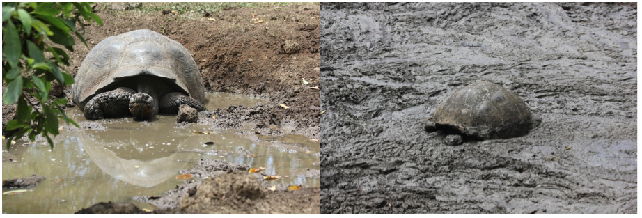 Two Galapagos Giant Tortoises taking a habitual, midday mud bath.