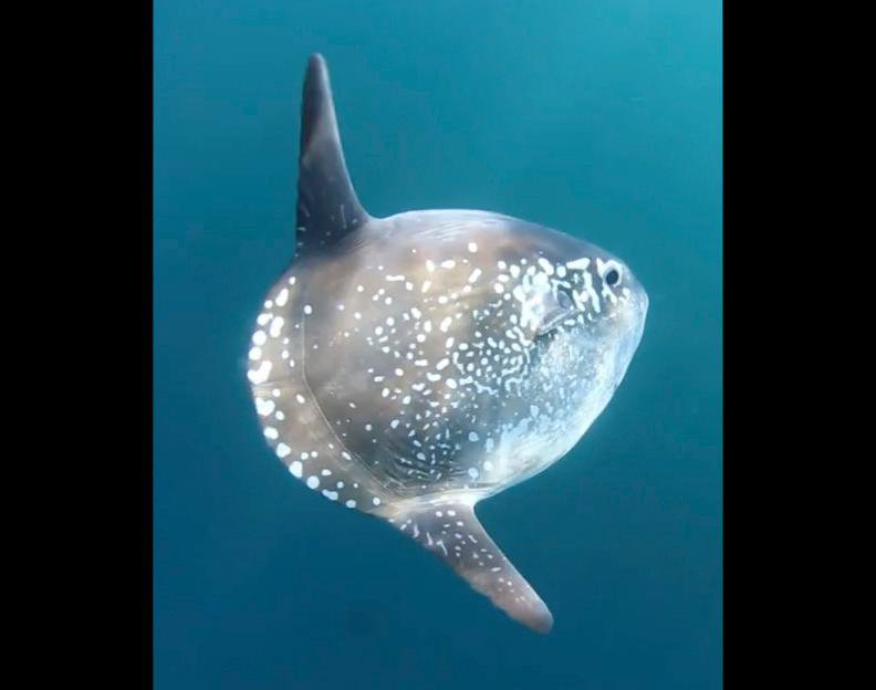 Found: New Species of Ocean Sunfish, the World's Largest Bony Fish