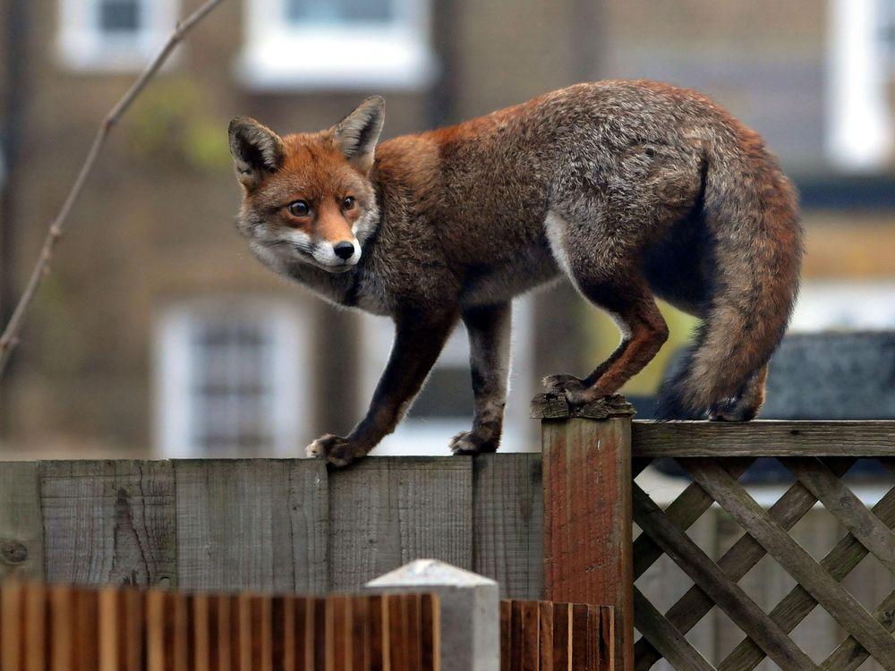 A fox walks on a fence in London
