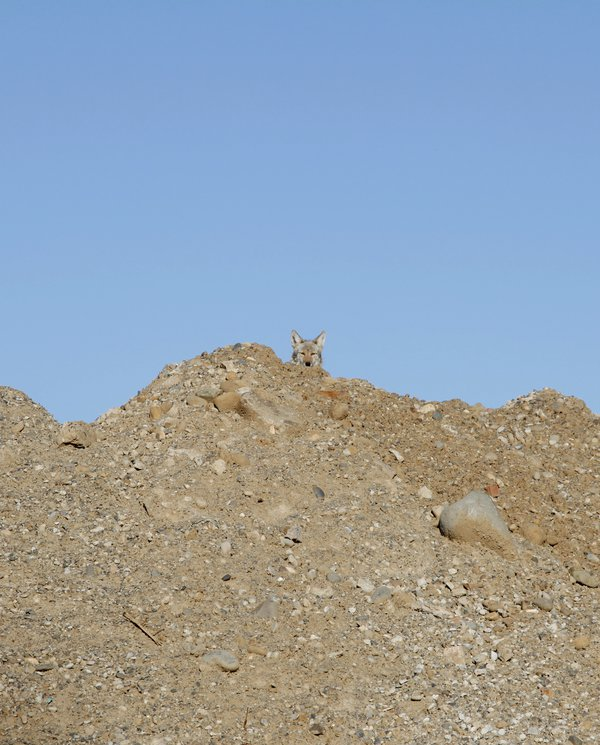 A coyote peeking out from behind a mound of sand. thumbnail