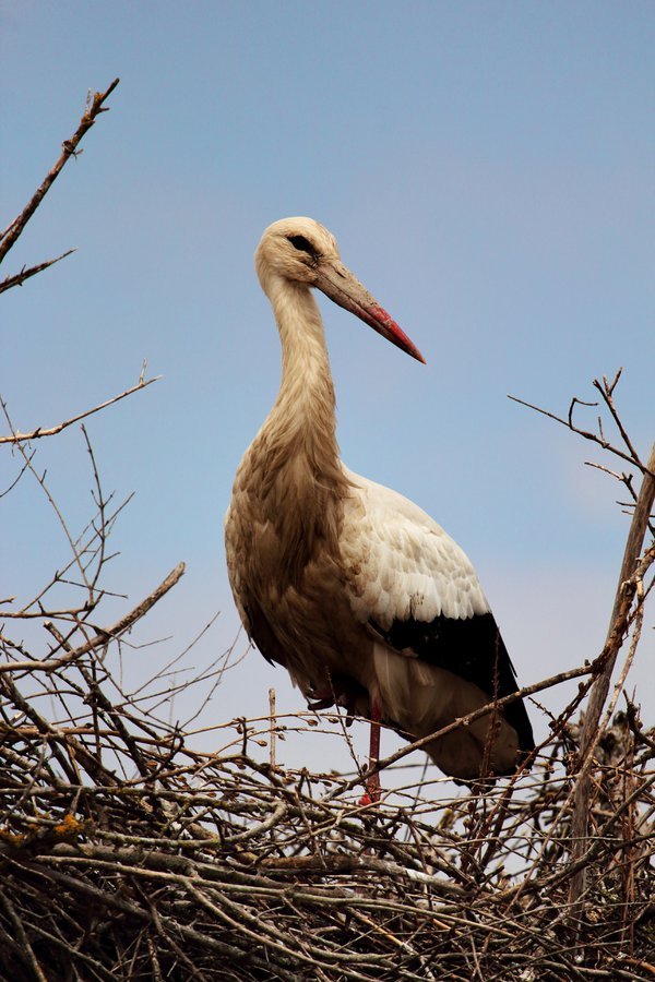 A white stork guarding the nest thumbnail