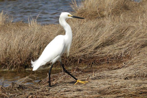 A Snowy Egret prancing on a Bay of Fundy salt marsh thumbnail