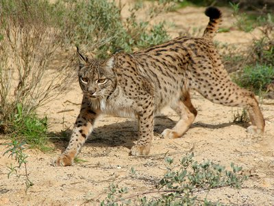 Though the Iberian lynx seemed destined for extinction, a conservation effort in Spain and Portugal has helped the population stabilize.