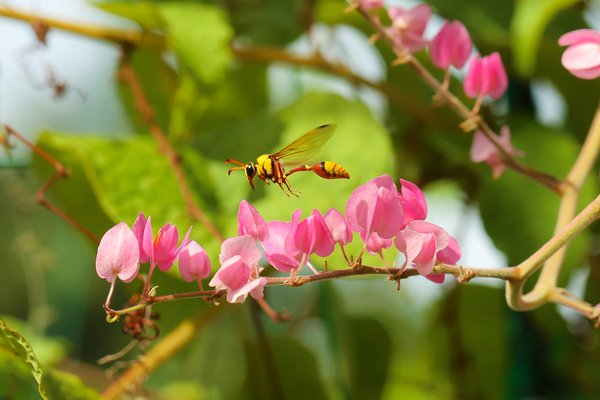 A yellow sphecid wasp flying looking for nectar among the Antigonon leptopus pink flowers thumbnail
