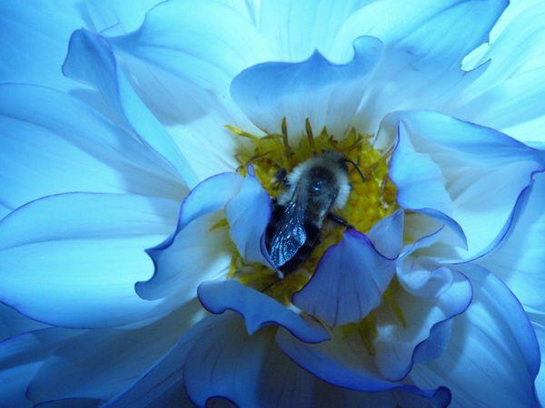 Sleeping Bumblebee thumbnail