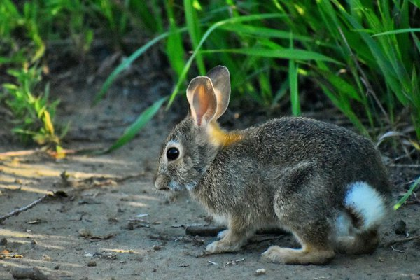 a bunny hunting for food near a lake in North Dakota. thumbnail