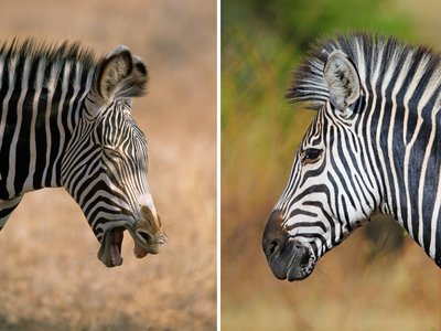 The Grevy's zebra (left) and the plains zebra may be tough to tell apart—until you examine their dietary preferences via their poop.