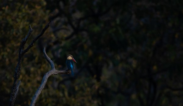 Kingfisher in the lookout thumbnail