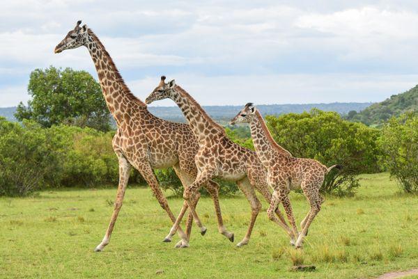 The giraffe family  thumbnail