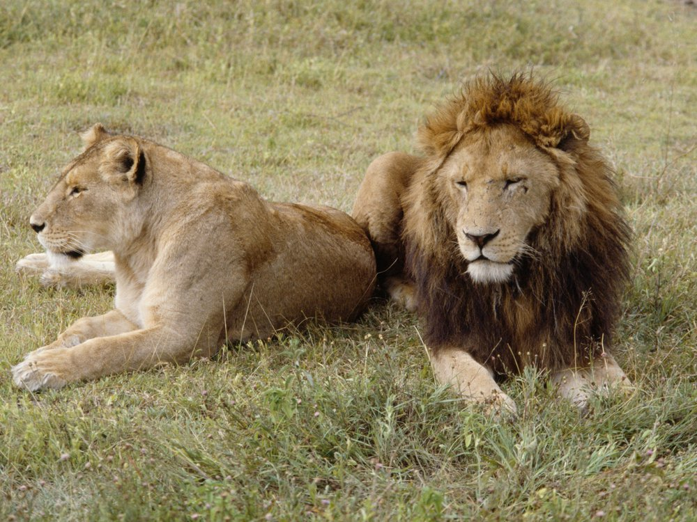 a female and male lion